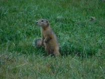 Ecureuil de la steppe