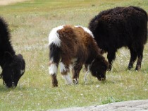 Petit yak