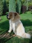 Magnifique chien chinois