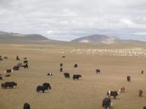 Troupeau de yaks sur les hauts plateaux