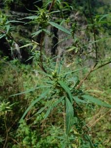 La marijuana : le chiendent local