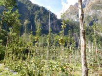 Vergers de pommiers, à plus de 3000m