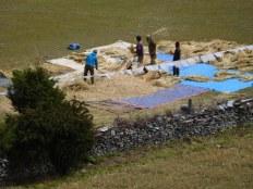 Paysans battant les blés