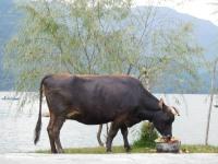 Vache sacrée que les népalais nourrissent