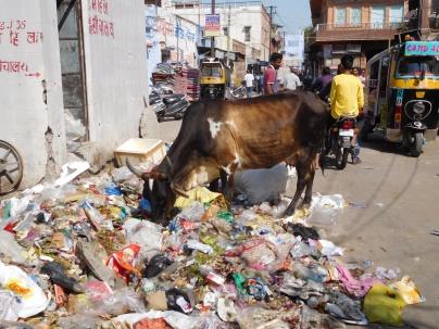 L'une des innombrables vaches se nourrissant des ordures (dépotoir urbain fréquent dans les rues)