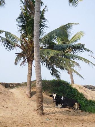 Après la vache et le prisonnier, la vache et le cocotier