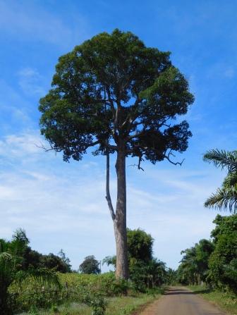 Magnifique et gigantesque arbre