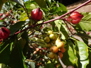 Caféier et hibiscus