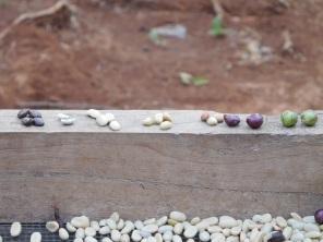Les différentes étapes après récolte des grains de café