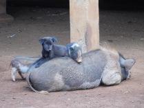Les animaux de compagnie, ils s'entendent comme chien et ... cochon!