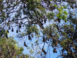 Le légendaire arbre à chauves souris (40 à 60cm d'envergure)