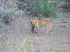 Un dingo croisé sur la route