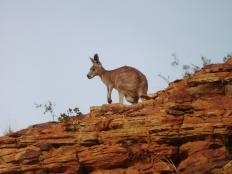 1ère rencontre avec un Wallaby