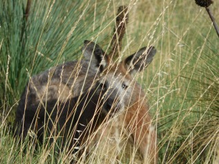 Kangourou vu de très près