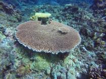 Corail florissant
