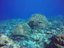 Patate de corail