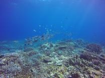 Banc de poisson sur jardin de corail