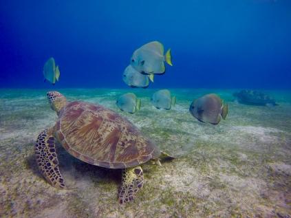 Les tortues accompagnées de leurs copains platex