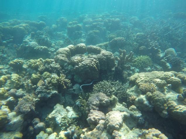 Serpent corail (extrêmement vénimeux)