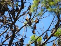 Les roussettes au jardin botanique