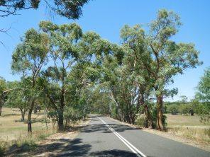 Les routes bordées d'eucalyptus