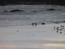 1er pingouins qui se montrent