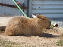 Capybara ou cochon d'eau