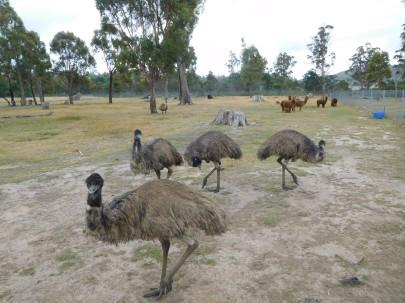 Emeus locales