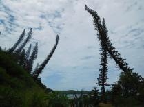 Les pins colonaires au-dessus de la baie des tortues
