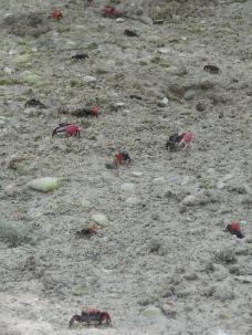 Petits crabes