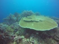 Plateau de corail