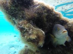 Hippocampe et poisson territorial
