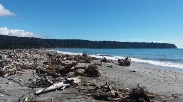 Singularité de troncs rapportés par les courants marins