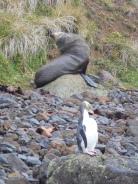 Pingouin aux yeux jaunes et lion de mer