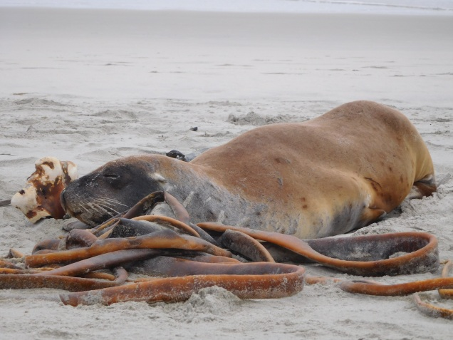 Lion de mer en pleine activité