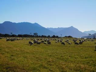 Les fameux moutons