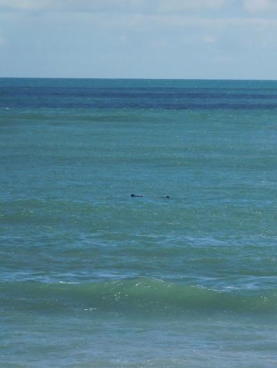 Apparition des Dauphins à Curio Bay