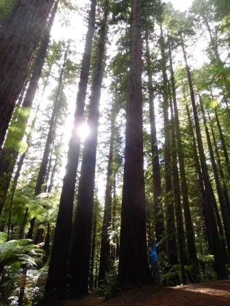 Red woods à Rotorua