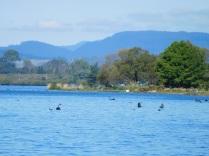 Cygnes en pleine pêche sur le lac de Rotorua