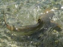 Requin dans la nurserie