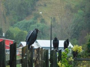 Les vautours moines à Tenaun