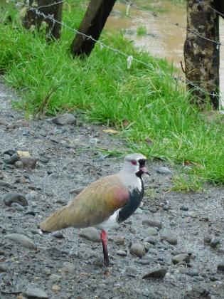 Oiseau chilote
