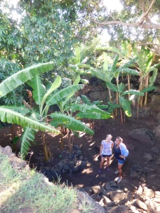 Plantation de bananiers dans les habitations troglodytes