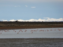Flamants roses sur la route