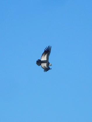 El condor passa toujours et encore