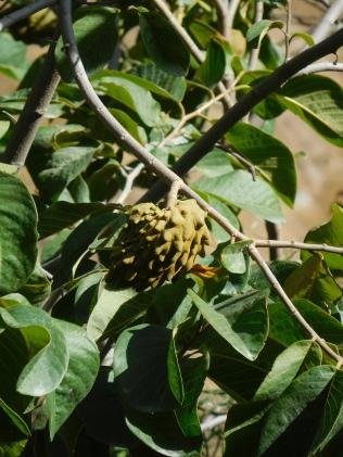 Fruits exotiques poussent dans la vallée