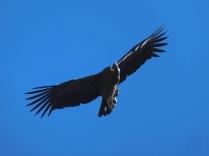El condor, toujours présent