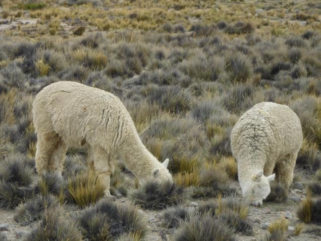 Quelques lamas paisibles